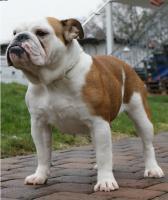 Englische Bulldoggen vom Wiesbachstrand