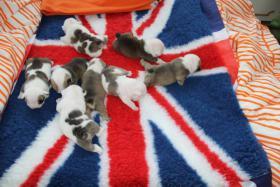 Foto 3 Englischer  Bulldog - Pupulu - bietet Welpen aus Wurf A + B