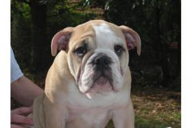 English Bulldog Welpen