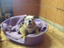 Foto 3 English Bulldog Welpen gesund und freiatmend !