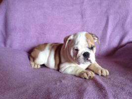 Foto 4 English Bulldog Welpen gesund und freiatmend !