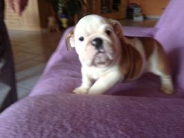 Foto 5 English Bulldog Welpen gesund und freiatmend !