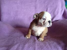 Foto 6 English Bulldog Welpen gesund und freiatmend !