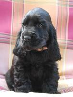 English Cocker Spaniel Welpe, H�ndin, schwarz
