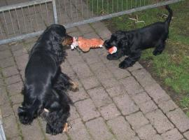 Foto 3 English Cocker Spaniel Welpe, H�ndin, schwarz