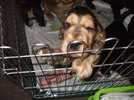Foto 3 English Cockerspaniel Welpen
