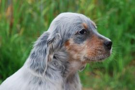 English Setter H�ndin Welpe