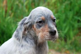 Foto 2 English Setter H�ndin Welpe