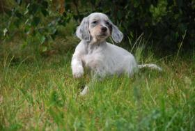 Foto 3 English Setter H�ndin Welpe