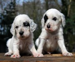 English Setter Welpe