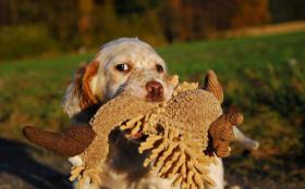 English Setter Welpe Flame R�de