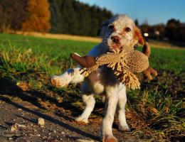 Foto 2 English Setter Welpe Flame R�de