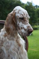 Foto 3 English Setter Welpen