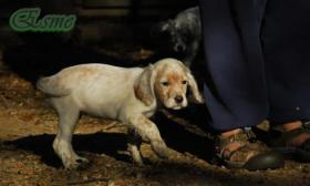 Foto 2 English Setter Welpen