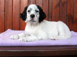 English Setter - Welpen mit Registration in FCI