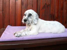 Foto 2 English Setter - Welpen mit Registration in FCI