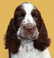English Springer Spaniel Welpen mit Papiere