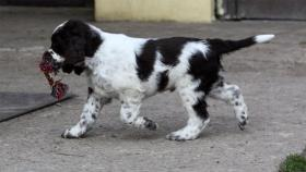 Foto 3 English Springer Spaniel Welpen mit Papiere