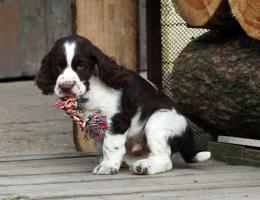 Foto 4 English Springer Spaniel Welpen mit Papiere