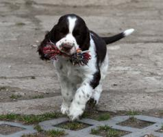 Foto 5 English Springer Spaniel Welpen mit Papiere