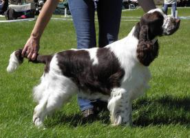 English springer spaniel - Welpen
