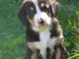 Entlebucher Sennenhund Welpen