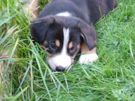 Foto 2 Entlebucher Sennenhund Welpen