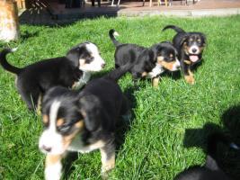 Foto 3 Entlebucher Sennenhund Welpen