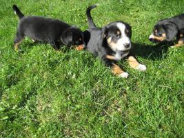 Foto 4 Entlebucher Sennenhund Welpen