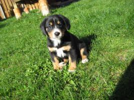 Foto 5 Entlebucher Sennenhund Welpen