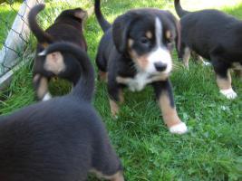 Foto 6 Entlebucher Sennenhund Welpen