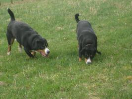 Foto 7 Entlebucher Sennenhund Welpen