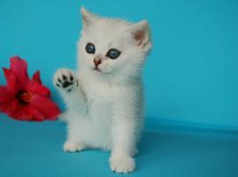 Entzückende Eisbärchen! Britisch Kurzhaar Babys silver-shaded