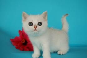 Foto 2 Entzückende Eisbärchen! Britisch Kurzhaar Babys silver-shaded