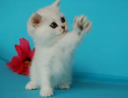 Foto 4 Entzückende Eisbärchen! Britisch Kurzhaar Babys silver-shaded