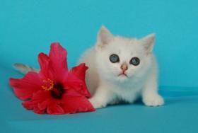 Foto 5 Entzückende Eisbärchen! Britisch Kurzhaar Babys silver-shaded