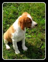 Foto 2 Epagneul Breton (Bretonischer Vorstehhund)