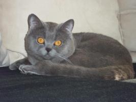Foto 2 Erfahrener BKH-Deckkater sucht Katzendamen