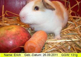 Erich, das peruanische Riesenmeerschweinchen (  CUY  )