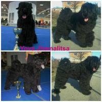 Foto 4 Erste Wahl Russischer Schwarzer Terrier Welpen zu verkaufen