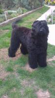 Foto 6 Erste Wahl Russischer Schwarzer Terrier Welpen zu verkaufen