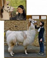 Erstklassiger Lama-Deckhengst