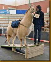 Foto 3 Erstklassiger Lama-Deckhengst