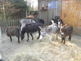 Eselstute und 2 Fohlen