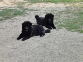 Eurasier - Junghunde schwarz