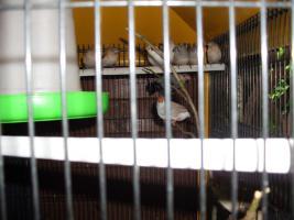 Exoten Reisfinken, Silberschnäbel, Zebrafinken, Kalifornische Schopfwachteln