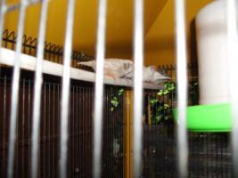 Foto 2 Exoten Reisfinken, Silberschnäbel, Zebrafinken, Kalifornische Schopfwachteln