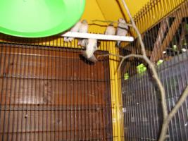 Foto 3 Exoten Reisfinken, Silberschn�bel, Zebrafinken, Kalifornische Schopfwachteln