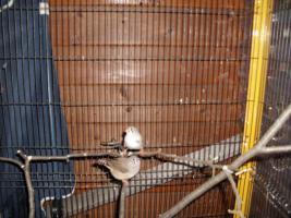 Foto 4 Exoten Reisfinken, Silberschnäbel, Zebrafinken, Kalifornische Schopfwachteln