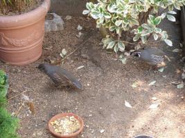 Foto 6 Exoten Reisfinken, Silberschnäbel, Zebrafinken, Kalifornische Schopfwachteln